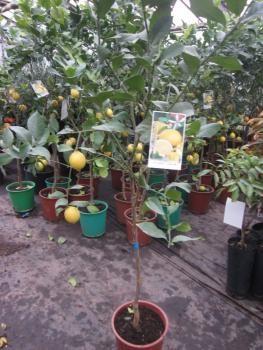 zitronenlust onlineshop f r mediterrane pflanzen und b ume rote zitrone citrus limon rosso. Black Bedroom Furniture Sets. Home Design Ideas