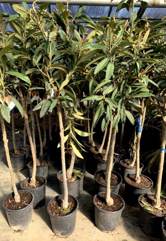 Eriobotrya japonica japanische Wollmispel Frostharte Pflanze 40-60cm Nespolo
