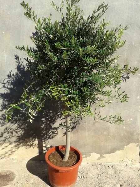 zitronenlust onlineshop f r mediterrane pflanzen und b ume olivenbaum olive olea europeae. Black Bedroom Furniture Sets. Home Design Ideas
