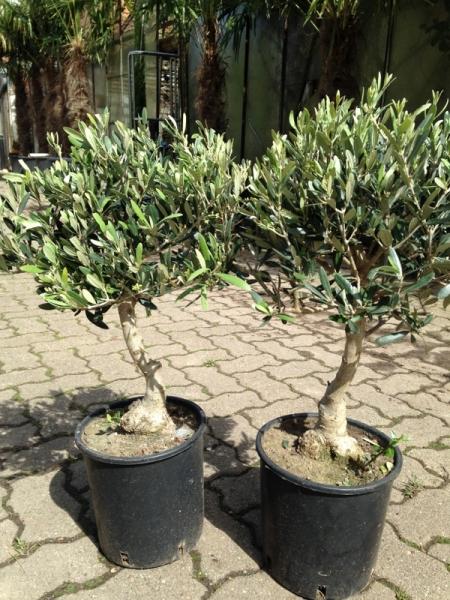 zitronenlust onlineshop f r mediterrane pflanzen und b ume olivenbaum tischdeko. Black Bedroom Furniture Sets. Home Design Ideas